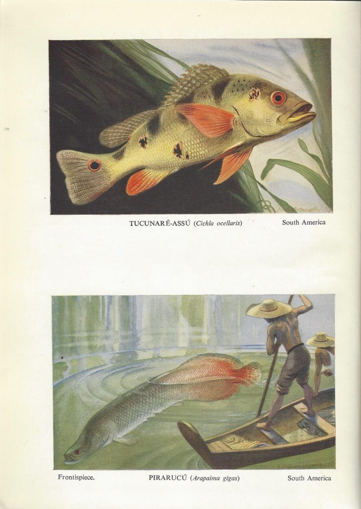"""One page holdings two illustrations of fish. Top image is captioned """"Tucunare-assu (Cichla ocellaris), South America."""" Bottom image is captioned """"Pirarucu (Arapaima gigas), South America."""""""